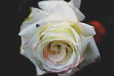 Free Closeup Photo Of White Rose Flower Stock Photography - 116371132