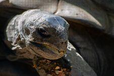 Free Brown Tortoise Royalty Free Stock Photos - 116371258