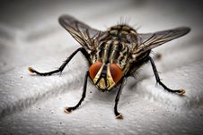 Free Closeup Photo Of Black And Gray Housefly On White Surface Royalty Free Stock Photos - 116371288