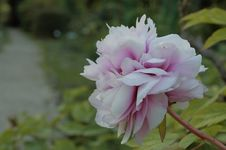 Free Selective Focus Photography Of White And Pink Peony Flower Royalty Free Stock Photos - 116371338