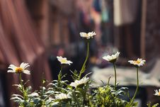Free Depth Of Field Photography Of White Daisy Flowers Royalty Free Stock Photography - 116371367