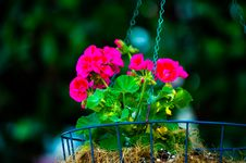 Free Shallow Focus Of Pink Bloom Flowers Stock Photography - 116371392