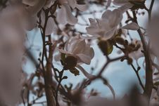 Free Closeup Photography Of White Magnolia Flowers Royalty Free Stock Images - 116371459