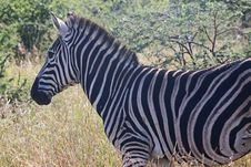 Free Close-Up Photography Of Zebra Royalty Free Stock Photo - 116371505