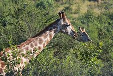 Free Close-Up Photography Of Giraffe Near Trees Royalty Free Stock Image - 116371506
