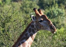 Free Close-Up Photography Of Giraffe Head Royalty Free Stock Images - 116371509