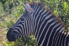 Free Close-Up Photography Of Zebra Royalty Free Stock Images - 116371519