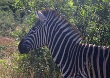 Free Close-Up Photography Of Zebra Royalty Free Stock Photography - 116371557