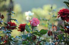 Free Flower, Plant, Rose Family, Rose Royalty Free Stock Photo - 116412595