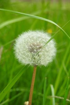 Free Dandelion, Flower, Grass, Flora Royalty Free Stock Photo - 116412875