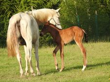 Free Horse, Pasture, Foal, Mare Stock Photography - 116412942