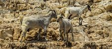 Free Herd, Fauna, Wildlife, Barbary Sheep Stock Photos - 116413173