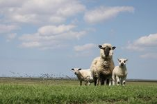 Free Grassland, Sheep, Pasture, Field Stock Photography - 116413902