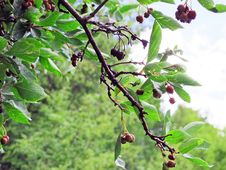 Free Wild Mountain Berries Of The Western Rockies Stock Image - 116428551