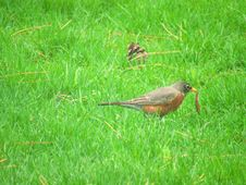 Free Gray And Brown Bird On Green Grass Field Stock Images - 116433944