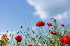 Free Red Poppy Flowers On Meadow And Cloudy Day Royalty Free Stock Image - 116434006