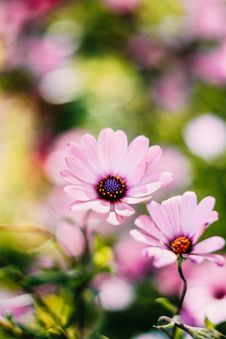 Free Selective Focus Photography Of Pink Osteospermum Flowers Stock Image - 116504341