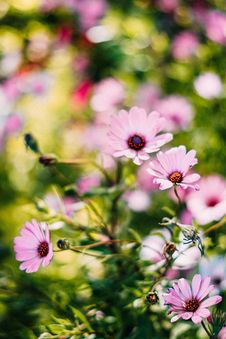Free Depth Of Field Photograph Of Pink Petaled Flowers Royalty Free Stock Images - 116504349