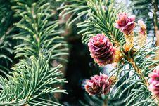 Free Red Pinecones Stock Image - 116504411