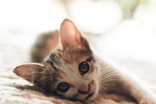 Free Close-Up Photography Of Kitten Royalty Free Stock Photography - 116504427