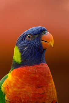 Free Close-up Photography Of Blue, Orange, And Green Parrot Royalty Free Stock Photos - 116504648