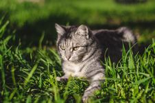 Free Focal Focus Photography Of Silver Tabby Cat Lying On Green Grass Field Royalty Free Stock Images - 116504649