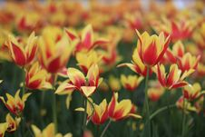 Free Shallow Focus Photography Of Red And Yellow Flower Field Stock Photo - 116504720