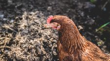 Free Brown Hen On Ground Royalty Free Stock Photo - 116504745