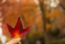 Free Selective-focus Photography Of Person Holding Red Maple Leaf Stock Images - 116504794