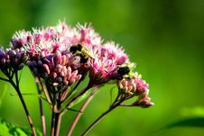 Free Carpenter Bee Perched On Pink Flower Royalty Free Stock Photo - 116504815