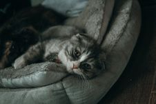 Free Close-up Photo Of Gray And White Cat Lying On Gray Pillow Royalty Free Stock Photo - 116504895