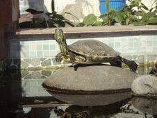 Free Turtle, Tortoise, Fauna, Emydidae Stock Images - 116611014