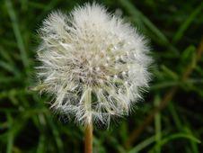 Free Flora, Dandelion, Flower, Plant Royalty Free Stock Photography - 116611327