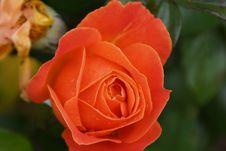Free Rose, Rose Family, Flower, Floribunda Royalty Free Stock Image - 116611426