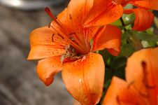 Free Flower, Lily, Orange Lily, Flora Stock Image - 116611581