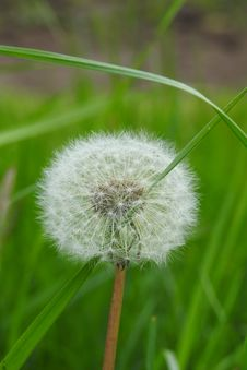 Free Dandelion, Flower, Flora, Grass Stock Photo - 116611630