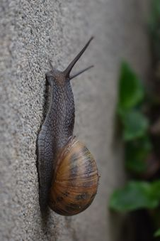 Free Snails And Slugs, Snail, Molluscs, Invertebrate Royalty Free Stock Images - 116611849