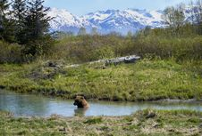 Free Brown Bear In The River Royalty Free Stock Photos - 116695218