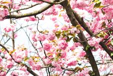 Free Photography Of Pink Flowers On Tree Stock Image - 116695831