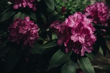 Free Photography Of Pink Petaled Flowers Stock Images - 116695884