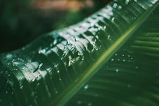Free Shallow Focus Photography Of Green Banana Leaf Royalty Free Stock Photography - 116695957