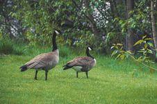 Free Two Canadian Geese On Green Grass Royalty Free Stock Image - 116695996