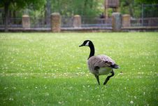 Free Canadian Goose On Grass Field Stock Image - 116696081