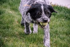 Free Wire-haired White And Black Dog With Tennis Ball Stock Photography - 116696122