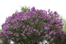 Free Plant, Flower, Purple, Lavender Stock Photos - 116733283