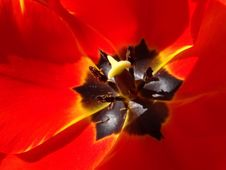 Free Flower, Yellow, Flowering Plant, Tulip Stock Image - 116733401