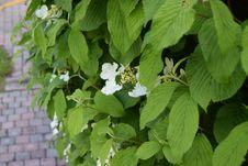 Free Plant, Leaf, Flower, Hydrangea Stock Photos - 116733513