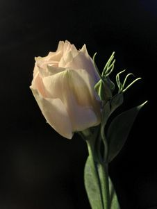 Free Flower, White, Rose Family, Rose Royalty Free Stock Images - 116733819