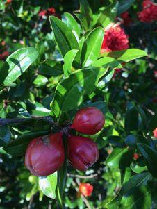 Free Plant, Fruit, Fruit Tree, Evergreen Stock Photos - 116733913