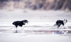 Free Selective Focus Photography Of Two Black-and-white Border Collies Runs In Body Of Water Stock Image - 116776191